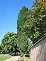 20120914Quercus robur Fastigiata2.jpg