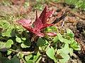 20130407Reynoutria × bohemica3.jpg