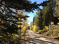 2014-10-04 16 30 34 View of Aspens during autumn leaf coloration, Subalpine Firs and Whitebark Pines along Charleston-Jarbidge Road (Elko County Route 748) in Bear Creek Valley about 15.2 miles north of Charleston, Nevada.JPG