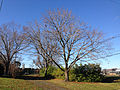 2014-12-27 10 02 25 Norway Maple along Glen Mawr Drive in Ewing, New Jersey.JPG
