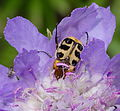 2014.06.15.-02-Eilenburg Ost--Pinselkaefer-Trichius gallicus.jpg