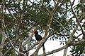 2014 Borneo Luyten-De-Hauwere-Bird-05.jpg