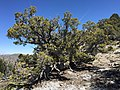 2015-04-27 12 50 33 An older Utah Juniper on the north wall of Maverick Canyon, Nevada.jpg