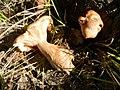 2015-10-03 Armillaria tabescens (Scop.) Emel 563920.jpg