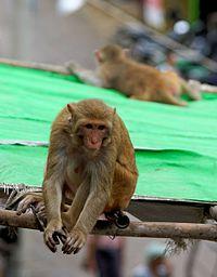 20160802 - Rhesus macaque - Mount Popa, Myanmar - 7064.jpg