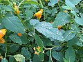 2017-09-02 16 32 48 Jewelweed in flower just after rain with water beading on the leaves (hence the name 'Jewelweed') along a walking path in the Franklin Farm section of Oak Hill, Fairfax County, Virginia.jpg