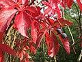 20170926Parthenocissus quinquefolia1.jpg