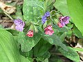 2018-04-09 (103) Pulmonaria officinalis at Bichlhäusl at Haltgraben in Frankenfels.jpg