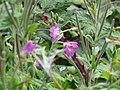2018-08-19 Spreading bellflower (Campanula patula), Paston way footpath, Gimingham.JPG