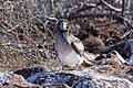 20180805-Blue-footed booby (juvenile) at Seymour Norte-4 (9265).jpg