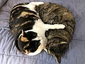2019-12-05 15 41 55 A Tabby cat and a Calico cat cuddling on a bed in the Franklin Farm section of Oak Hill, Fairfax County, Virginia.jpg