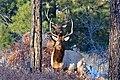 2 Young Bull Elk (32291532145).jpg