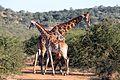 2 giraffes, Madikwe (13944949220).jpg