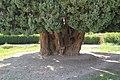 4,000-year-old Iranian cypress (6223659382).jpg