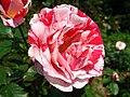 4503 - Bern - Rosengarten - Rose.JPG