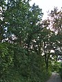 4 duby letní.jpg