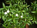 9639Ornamental plants in the Philippines 14.jpg