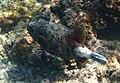 A. nigropunctatus x A. meleagris.jpg