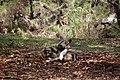 AFRICAN WILD DOG (14003740472).jpg