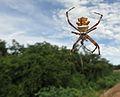 A Aranha-de-prata (Argiope argentata) se alimenta, antero-dorsal sig.jpg