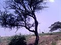 A Babool Tree in L.N, Palayam , Coimbatore District.jpg