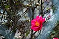 A Camellia (186385723).jpeg