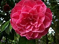 A Camellia in the garden of Kingston Lacy House - geograph.org.uk - 452079.jpg