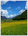 A Sea Of Flowers In South Tyrol (24537312718).jpg