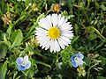 A daisy and two blue flowers.jpg