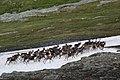 A frightened herd of reindeer - panoramio.jpg