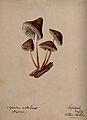 A fungus (Agaricus alkalinus); fruiting bodies growing on wo Wellcome V0043306.jpg