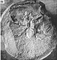 A monograph of the terrestrial Palaeozoic Arachnida of North America photos 53-59 54.png