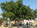 A neem tree in rajasthan.jpg