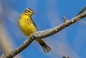 Setophaga - The Palm warbler is a member of the Setophaga genus
