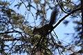 A red squirrel barks an alarm, its tail extended straight back from its body (3adb82b7-f53a-47b2-bc1a-488b8c6a4b5c).jpg