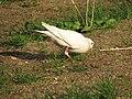 A white pigeon.JPG