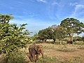 A young elephant seen eating bushes inside Yala National Park.jpg