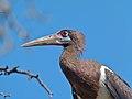 Abdim's Stork (Ciconia abdimii) (6865277292).jpg