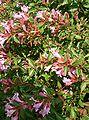 Abelia x grandiflora Edward Goucher2.jpg