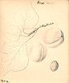 Abrikos - Orange Apricot (9247294792).jpg