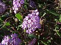 Abronia villosa-2.jpg