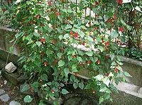 Abutilon megapotamicum5
