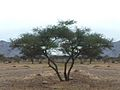 Acacia (Vachellia) nilotica.jpg
