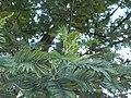 Acacia Dealbata Mimosa.jpg