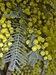 Acacia dealbata 08.jpg