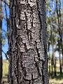 Acacia implexa bark.jpg