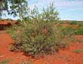 Acacia melleodora shrub.jpg