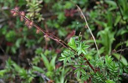 Acaena elongata 1
