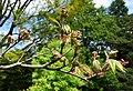 Acer campbellii subsp. sinense (Acer sinense) - Morris Arboretum - DSC00396.JPG
