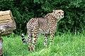 Acinonyx jubatus - Serengeti-Park Hodenhagen 2017 05.jpg
